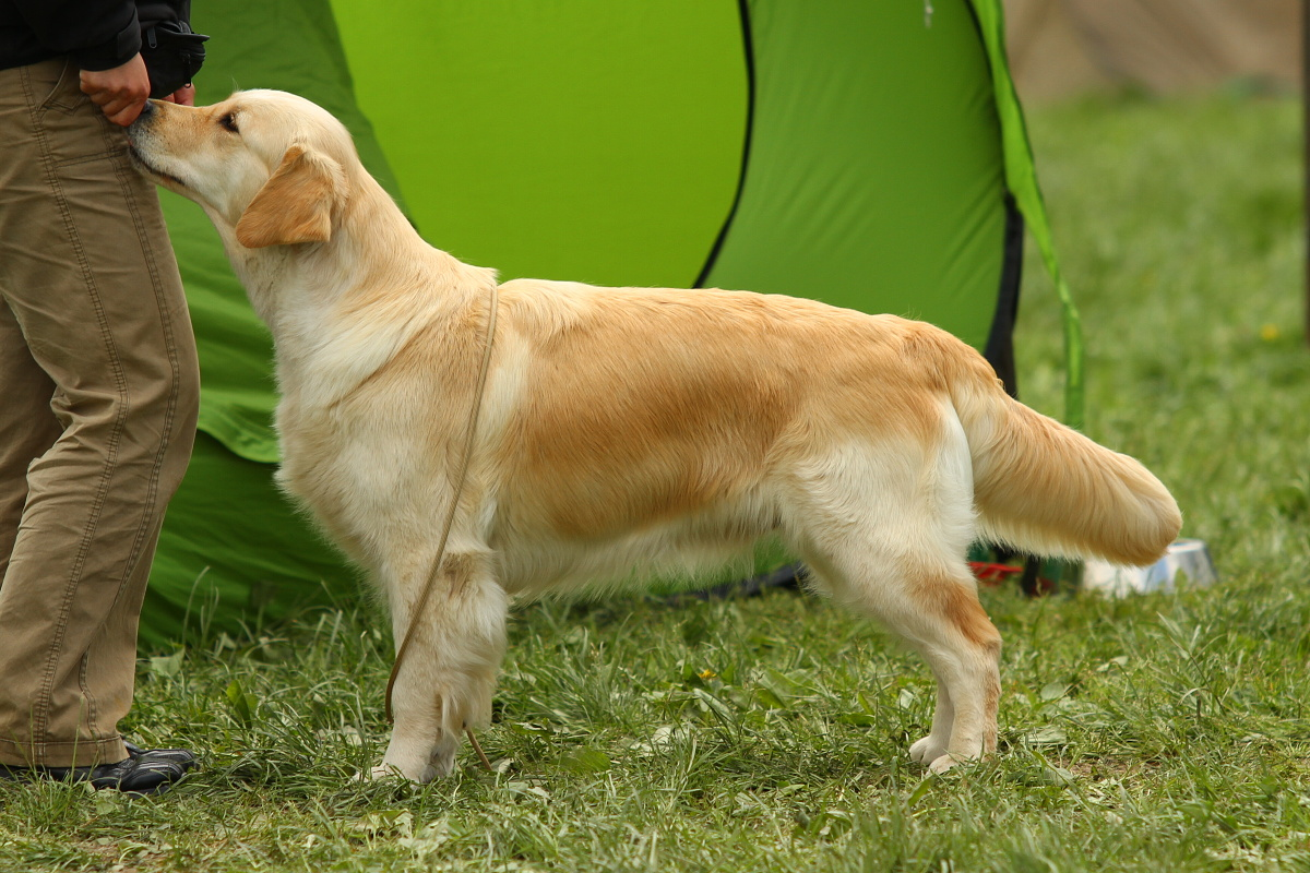 zlatý retriever, golden retriever, zlatý retrívr