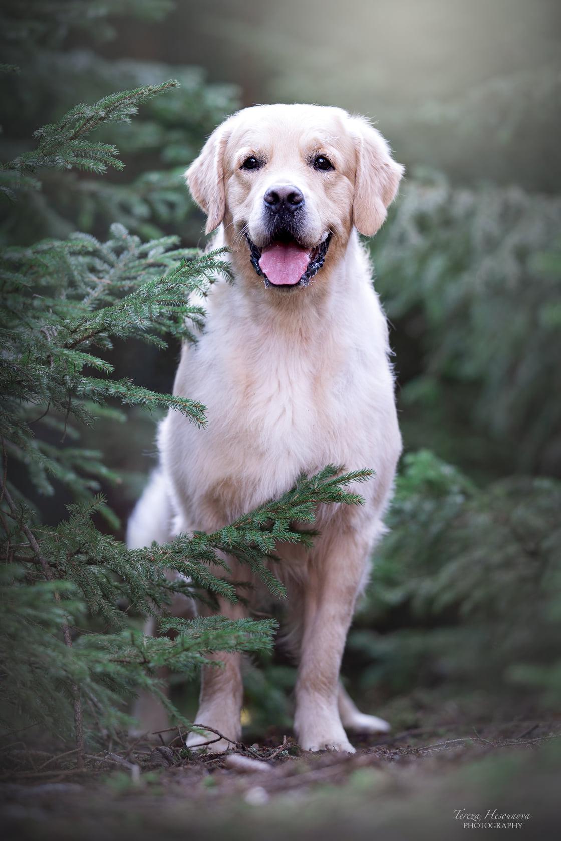 Pes zlatý retriever v lese